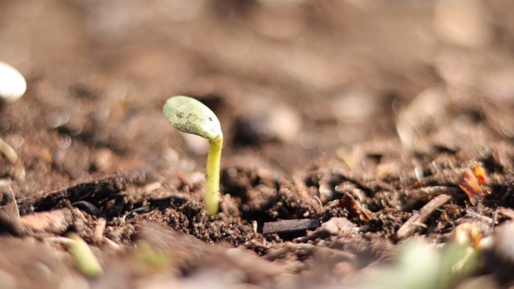 A seedling emerging from the soil