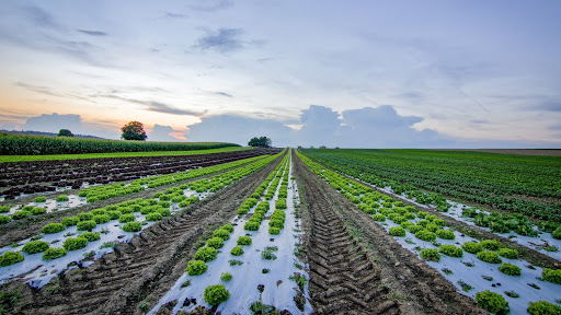 Agricultural crops grown in rows